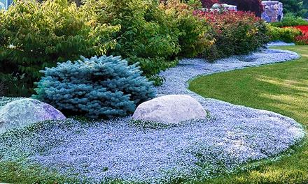 15 plantes couvre sol isotoma blue foot groupon. Black Bedroom Furniture Sets. Home Design Ideas