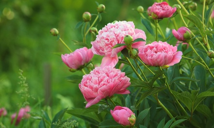 One or Two Peony Edens Perfume Bare Root Plants