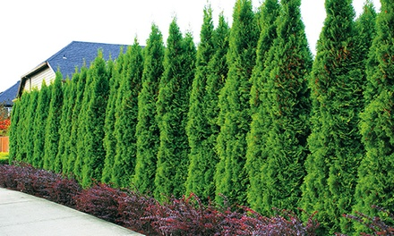 bis zu 28 rabatt lebensbaum hecke thuja smaragd groupon. Black Bedroom Furniture Sets. Home Design Ideas