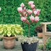 Patio Standard Lucky Red Magnolia