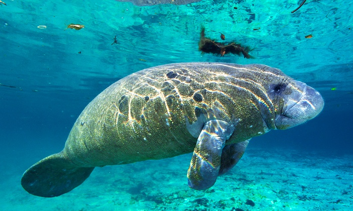 Manatee Tour and Dive - Crystal River: Manatee Tour and Snorkel-Equipment Rental for a Child or Adult from Manatee Tour and Dive (59% Off)