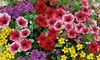 Hanging Basket Colour Collection - 5 or 10 Plants