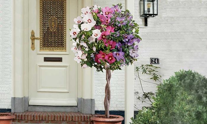 Hibiscus Tricolour Tree Groupon Goods