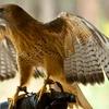 Walk With a Hawk