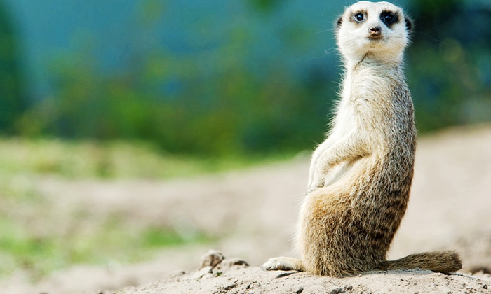 Blackbrook Zoological Park - Leek: Meerkat and Penguin Experience For One Child for £29 at Blackbrook Zoological Park