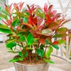 Photinia Red Robin Plants