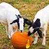 Open Farm Autumn Dayout Family Entry