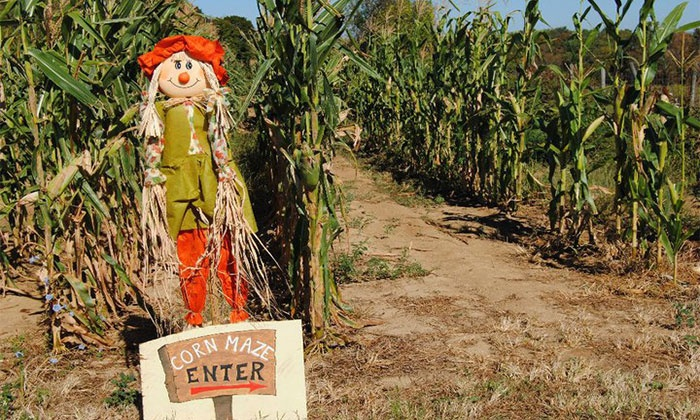 Country Pumpkins - Country Pumpkins: Hayride and Barrel Train or Hayride and Corn Maze Package for Four at Country Pumpkins (Up to 50% Off)