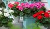 6 geraniums