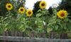 Giant Sun Flower Seed Mat (1-, 2- or 3-Pack): Giant Sun Flower Seed Mat (1-, 2- or 3-Pack)