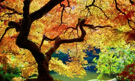 Four or Eight Japanese Maples