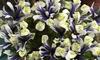 Up to 20 Dwarf Iris Eyecatcher