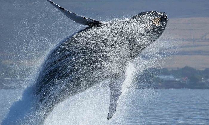 First String Sportfishing - San Pedro: Whale-Watching Cruise Admission for Kid or Adult from First String Sportfishing (Up to 52% Off). Four Options.