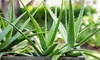 Aloe Vera Succulent Potted Plant (1- or 3-Pack)