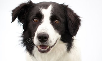 $138 for a Dental Exam and Cleaning with Antibiotics if Needed at Doggy Dental  ($299 Value)