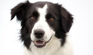 Doggy Dental: $149 for a Dental Exam and Cleaning with Antibiotics if Needed at Doggy Dental  ($299 Value)
