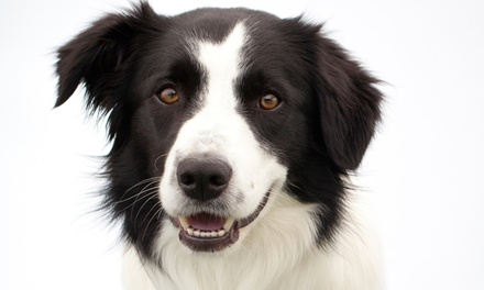 $149 for a Dental Exam and Cleaning with Antibiotics if Needed at Doggy Dental  ($299 Value)