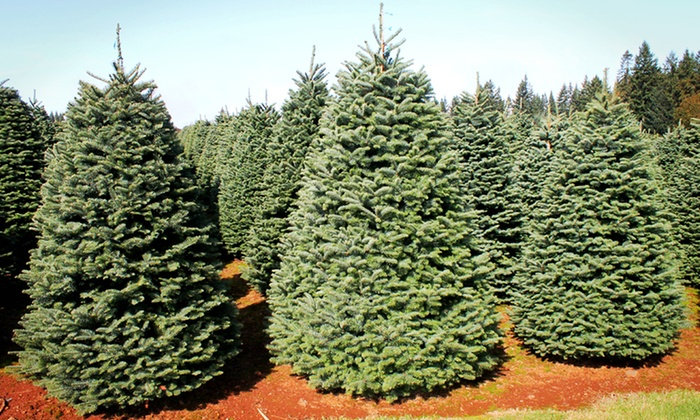 Noble Fir Christmas Tree.Great West Christmas Trees