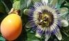 Lot plantes fruit de la passion