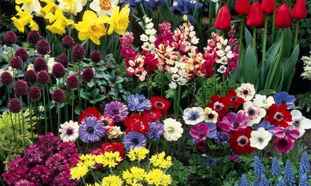 Dazzling Summer Bulb Collection 100 or 200 bulbs from £7.99 With Free Delivery