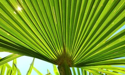 2 ou 4 Palmiers Trachycarpus Fortunei