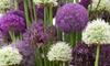 20er-Set Zierlauch-Blumenzwiebeln