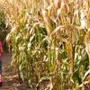 Up to 50% Off Corn Maze at Pumpkinville Corn Maze