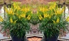 Mahonia Soft Caress Plant
