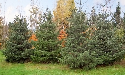 Noble Fir Christmas Tree with Delivery from Classic Garden Creations (Up to 55% Off). Three Heights Available.