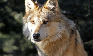 California Wolf Center: Wolf Recovery Today Tour for Two or Four or One-Year Membership for Four at California Wolf Center (Up to 56% Off)