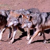 Up to 56% Off California Wolf Center Membership or Tour