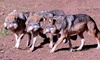 California Wolf Center - Julian: Wolf Recovery Today Tour for One or Two or One-Year Membership for Four at California Wolf Center (Up to 56% Off)
