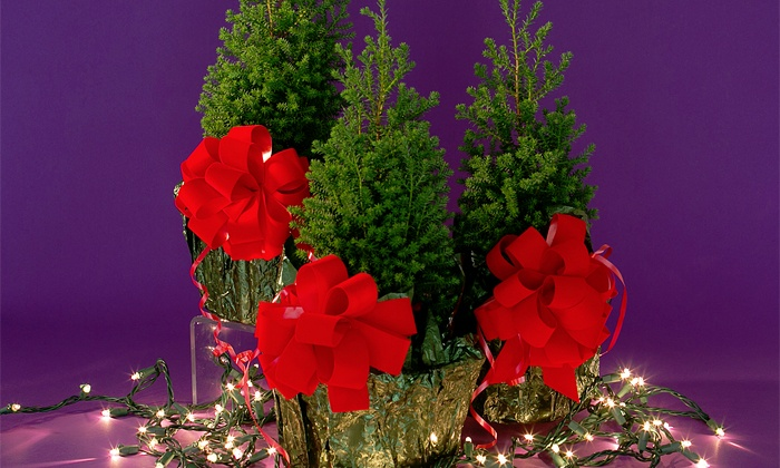 Greensboro Beautiful - Greensboro: $12 for a Mini Live Evergreen Christmas Tree for Pick Up on December 5 at Holiday Greenery Festival ($25 Value)