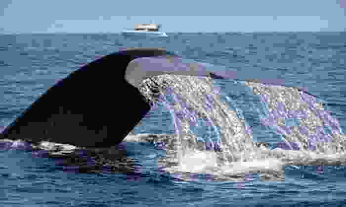 Dana Wharf Whale Watching - Dana Point: $12 for Two-Hour Evening Blue-Whale-Watching Trip with Dana Wharf Whale Watching (Up to $25 Value)