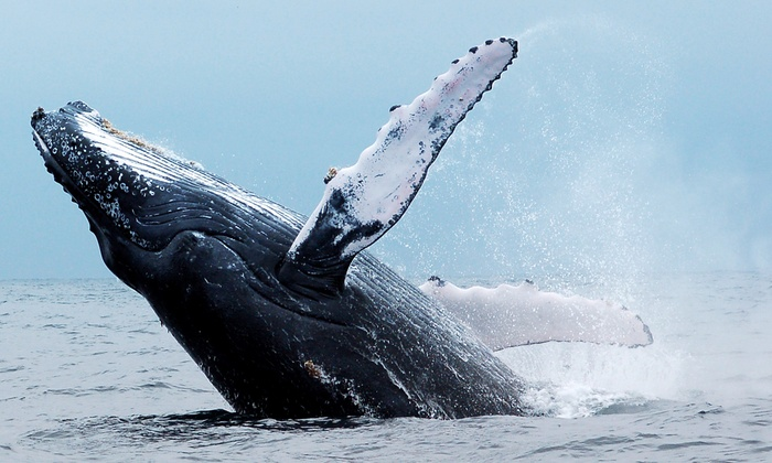 Odyssey Whale Watch - Downtown: $96 for a Whale-Watching Cruise for Four from Odyssey Whale Watch ($192 Value)