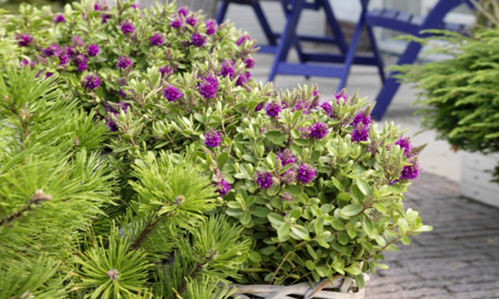 Six hardy evergreen hebe plants groupon goods for Hebe pianta