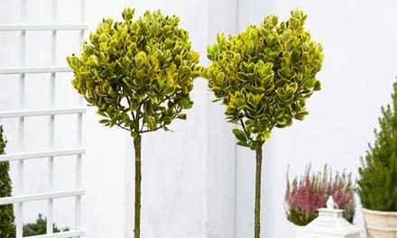 Euonymous Trees