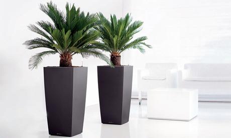 2 o 4 palmeras de Cycas King Sago