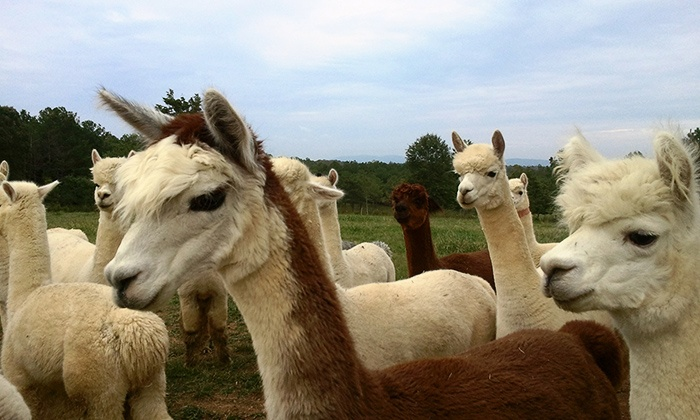 Southern Estate Alpacas - Adairsville: Alpaca Farm Visit for Two, Four, or Six at Southern Estate Alpacas (Up to 52% Off)