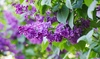 Live Lilac Shrubs in Full Quart Container: Live Lilac Shrubs in Full Quart Container