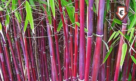 """3/6/9 Pflanzen Roter Bambus """"Chinese Wonder"""""""