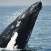 Up to 40% Off a Cape Ann Whale Watch Cruise