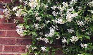 Lot de 2 plantes de jasmin