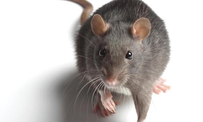 Cnj Pest Management, Llc - Long Island: Rodent-Inspection Service from CNJ Pest Management (50% Off)
