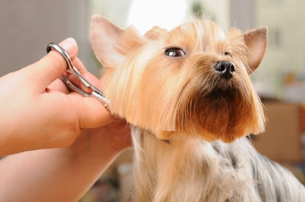 Dog Grooming for One Pet Up to 50 or Over 50 Pounds at The Classy Canine (Up to 51% Off)