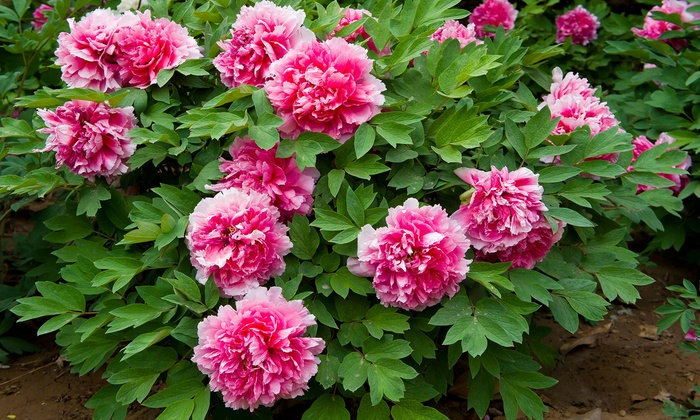 Pre Order Giant Pink Peony Tree Flower Bulbs 1 2 4 Pack Groupon