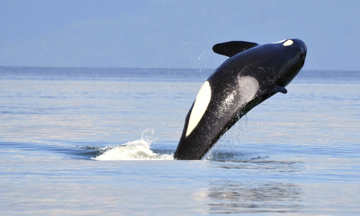 Island Mariner - Bellingham: Whale-Watching Cruise for One from Island Mariner (39% Off)