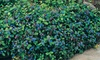 """Plumbago 3"""" Potted Bare Root Plant (2-Pack): Plumbago 3"""" Potted Bare Root Plant (2-Pack)"""