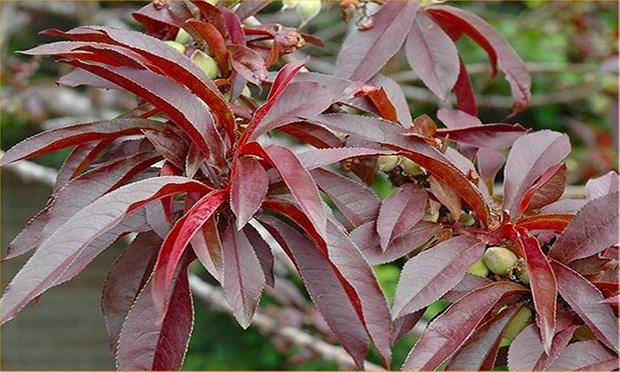 Red Leaf Peach Tree