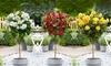 1 o 2 piante di rose Standard